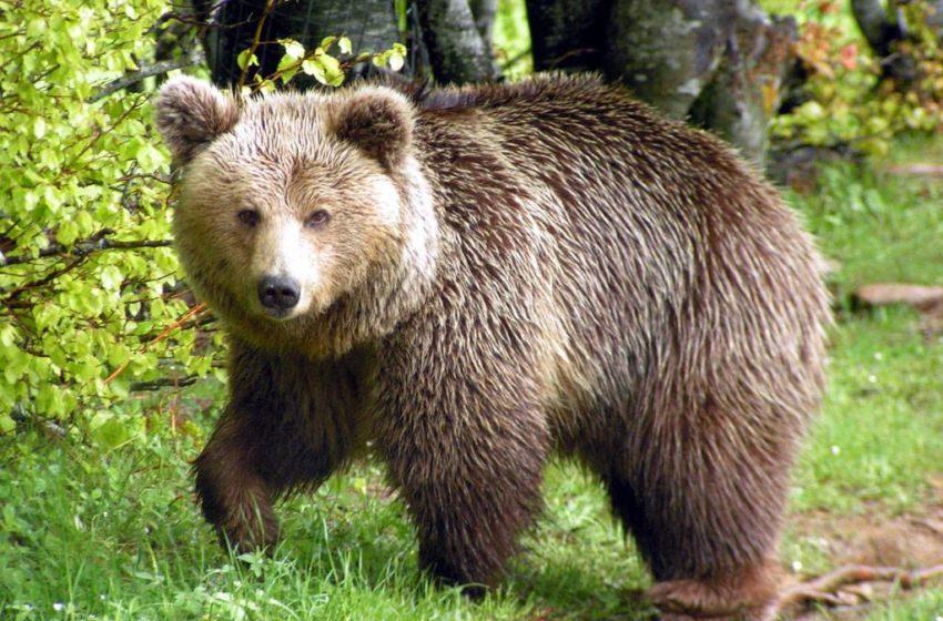 Οικογένεια αρκούδων βόλταρε στην άδεια Καστοριά (vid)
