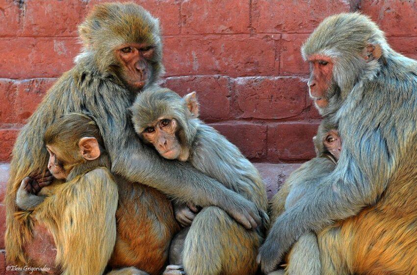 Πειράματα: Πίθηκοι που μολύνθηκαν με COVID 19 απέκτησαν πλήρη ανοσία