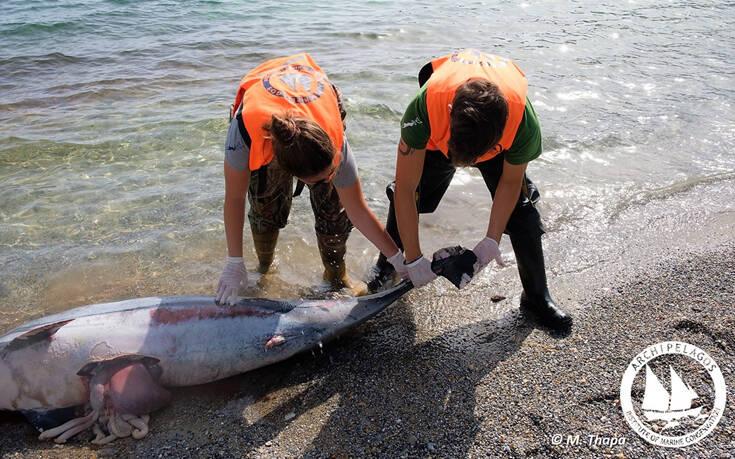 Βασάνισαν δελφίνια στο Αιγαίο: Τους έκοψαν με μαχαίρι τα πτερύγια και τα άφησαν να πνιγούν (εικόνες)