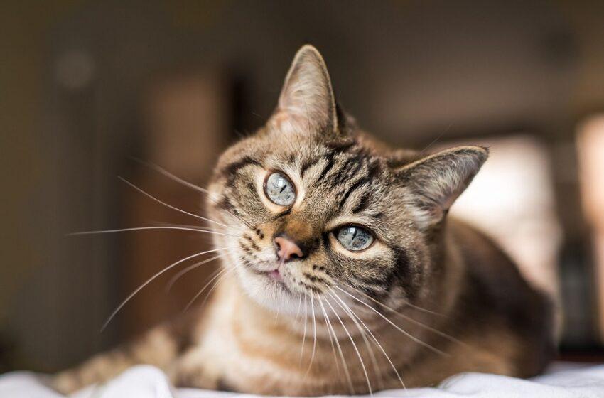 Μελέτη: Μπορούν οι γάτες να κολλήσουν κοροναϊό από τον άνθρωπο;
