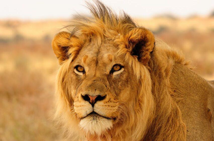 Λιοντάρι επιτέθηκε σε υπάλληλο ζωολογικού πάρκου στην Αυστραλία