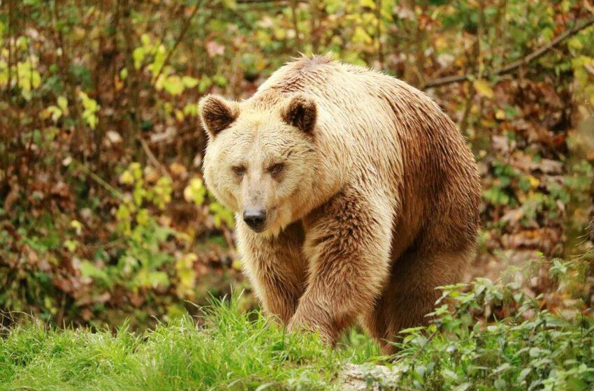 Καστοριά: Αρκούδα τραυμάτισε 26χρονο –  Πώς γλίτωσε