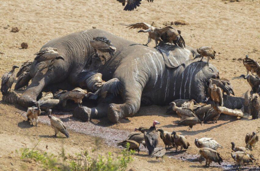 Μυστήριο: Οι ελέφαντες πεθαίνουν ξαφνικά στην Μποτσουάνα (vid)