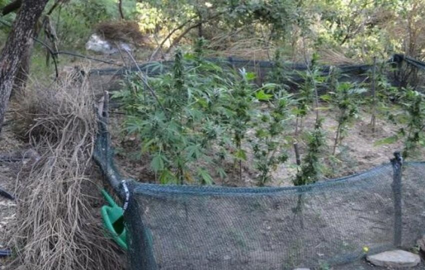Φυτεία ινδικής κάναβης 8 στρεμμάτων εντόπισαν οι αρχές στα Γρεβενά