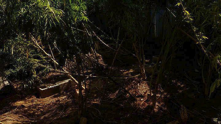 Καλλιέργεια δενδρυλλίων κάνναβης σε δύσβατη δασώδη περιοχή του Κιλκίς