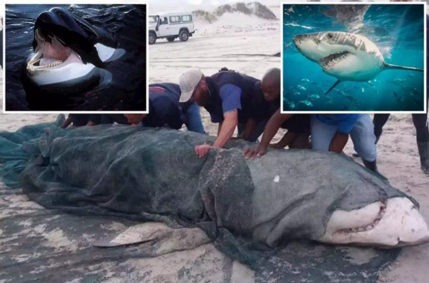 Ανεξήγητο φαινόμενο: Κοπάδι από όρκες δολοφονεί λευκούς καρχαρίες – Προβληματισμένοι οι επιστήμονες