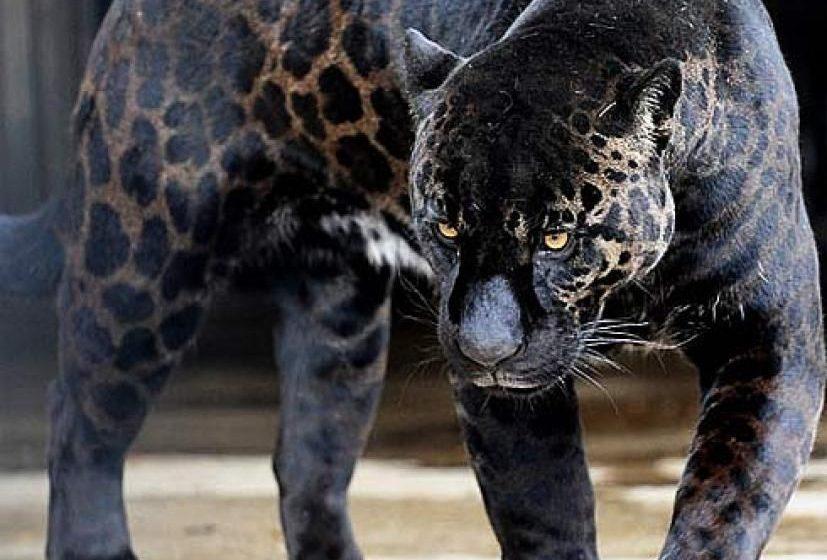 Φλόριντα: Άγρια επίθεση λεοπάρδαλης σε 50χρονο – Πλήρωσε για να την χαϊδέψει και να βγάλει φωτογραφίες