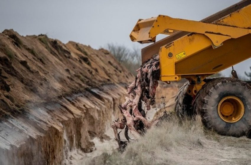 Κοροναϊός: Στην Δανία θέλουν να σκοτώσουν εκατομμύρια βιζόν, αλλά ανακάλυψαν ότι δεν έχουν νόμο να επιτρέπει την εξόντωση υγιών ζώων