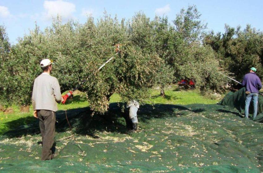 Κοροναϊός- Παπαευαγγέλου: Έξαρση κρουσμάτων σε περιοχές που μαζεύουν ελιές