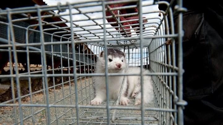 Κρούσματα κοροναϊού σε 11 μονάδες εκτροφής μινκ σε Καστοριά, Κοζάνη και Γρεβενά