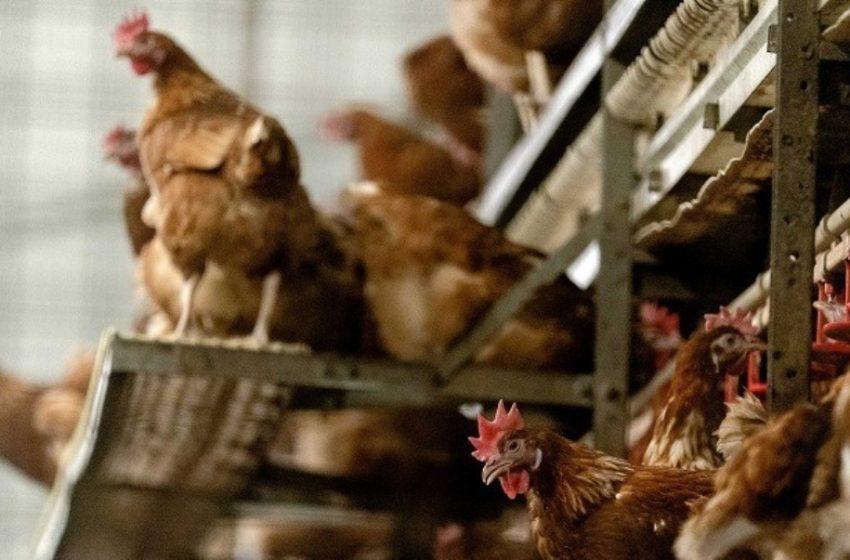 Πολλά κρούσματα γρίπης των πτηνών σε κοτόπουλα