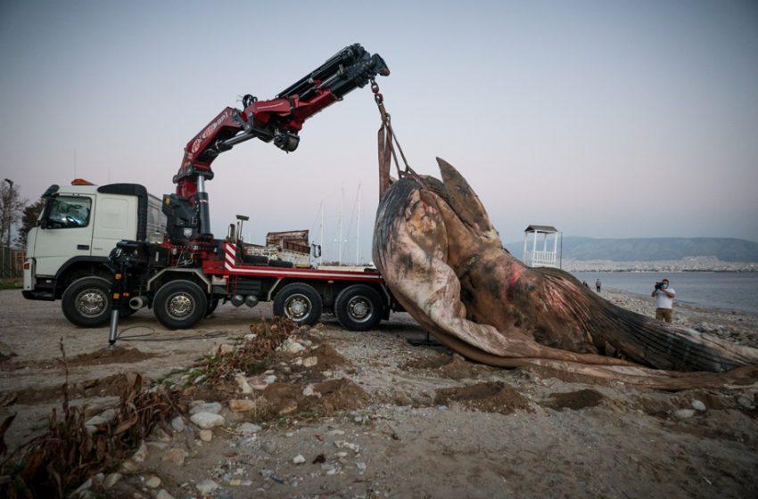 Πως βρέθηκε η φάλαινα στην Πειραϊκή