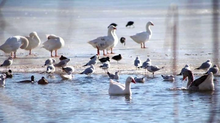Συναγερμός στην Καστοριά: Γρίπη των πτηνών σε πελεκάνο