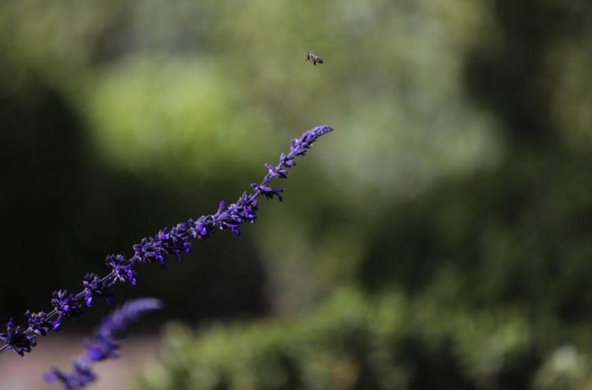 Αγριες Μέλισσες στο Μαξίμου