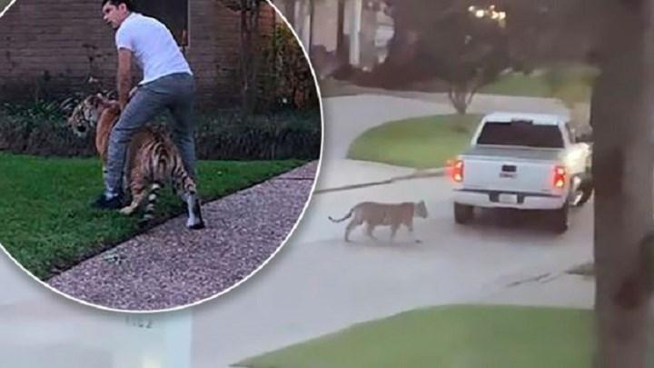 Τρόμος με… βόλτες τίγρη στο Χιούστον – Συνελήφθη 26χρονος που την είχε για κατοικίδιο (vids)
