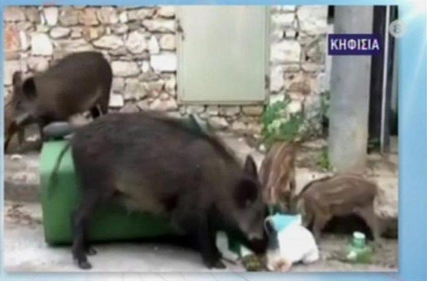Κηφισιά: Αγριογούρουνο απείλησε μητέρα με μωρό στο καρότσι