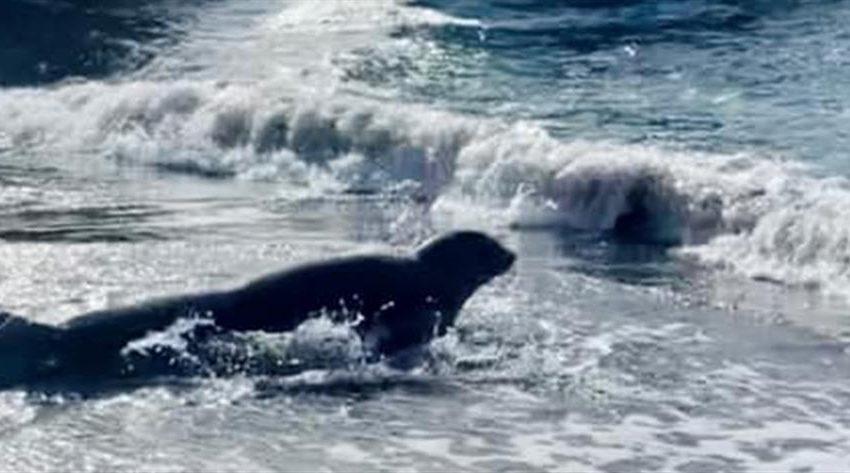 Αλόννησος: Στο νοσοκομείο τουρίστρια από δάγκωμα φώκιας