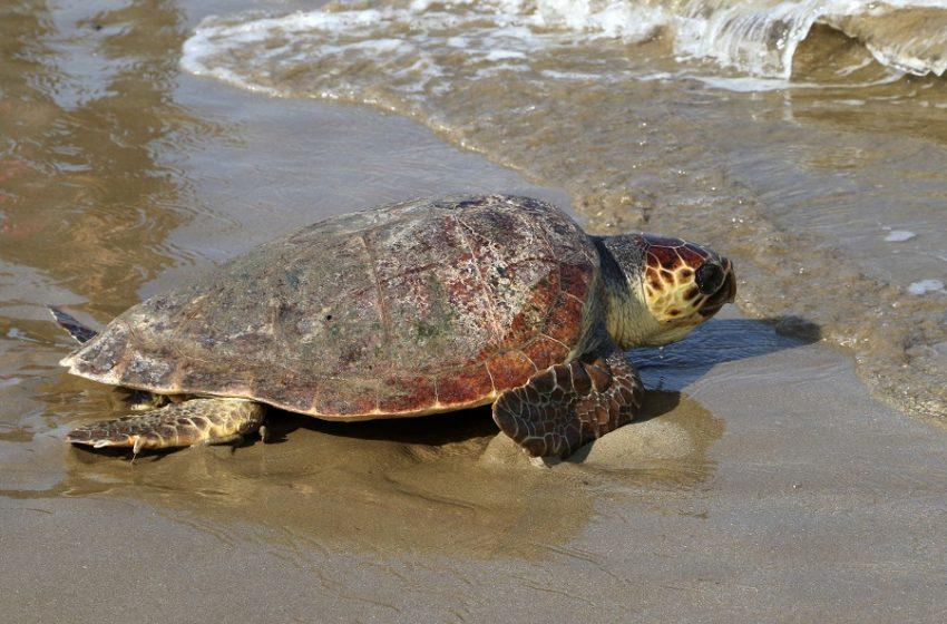 Χελώνα καρέτα-καρέτα άφησε τα αβγά της σε παραλία της Λούτσας