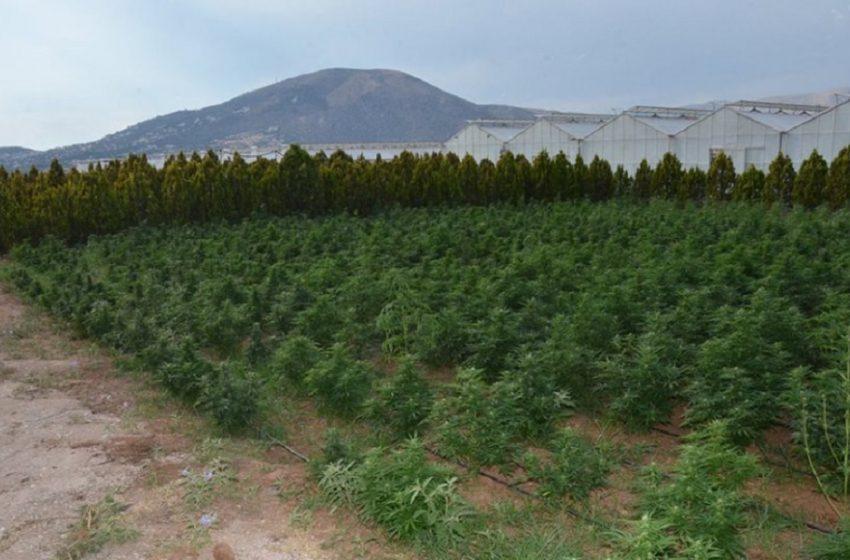 Σέρρες: Χασισοκαλλιέργεια σε υψόμετρο 1400 μέτρων, στο όρος Μπέλες (vid)