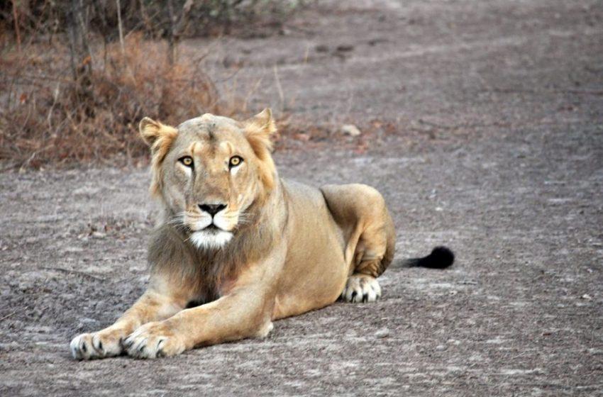 Ινδία: Λέαινα πέθανε από κοροναϊό σε ζωολογικό κήπο