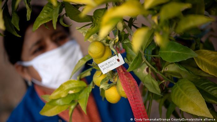 Θα εμβολιαστούν και τα λεμόνια;- Tι είναι το Citrus Greening