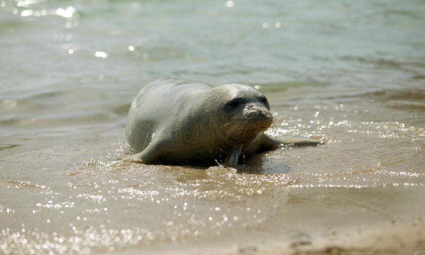 Αλόννησος: Σκότωσαν με ψαροντούφεκο την φώκια μασκότ/ Αναζητούν τον δράστη (εικόνες)
