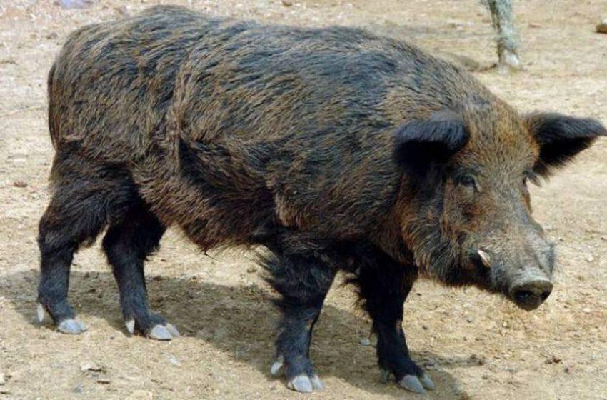 Εύβοια: Αγριογούρουνο τρώει σε ταβέρνα (vid)