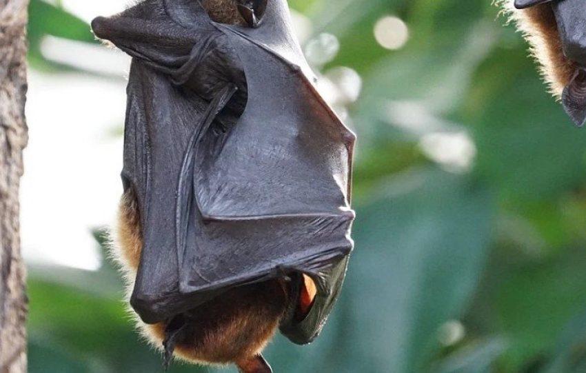 Σε νυχτερίδες στο Λάος εντοπίστηκαν οι τρεις πιο κοντινές εκδοχές του SARS-CoV-2